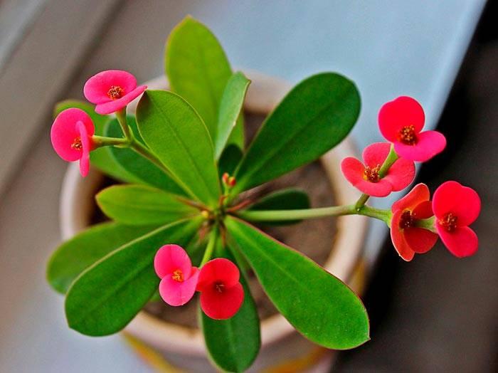 Молочая миля — как ухаживать за красивым цветком