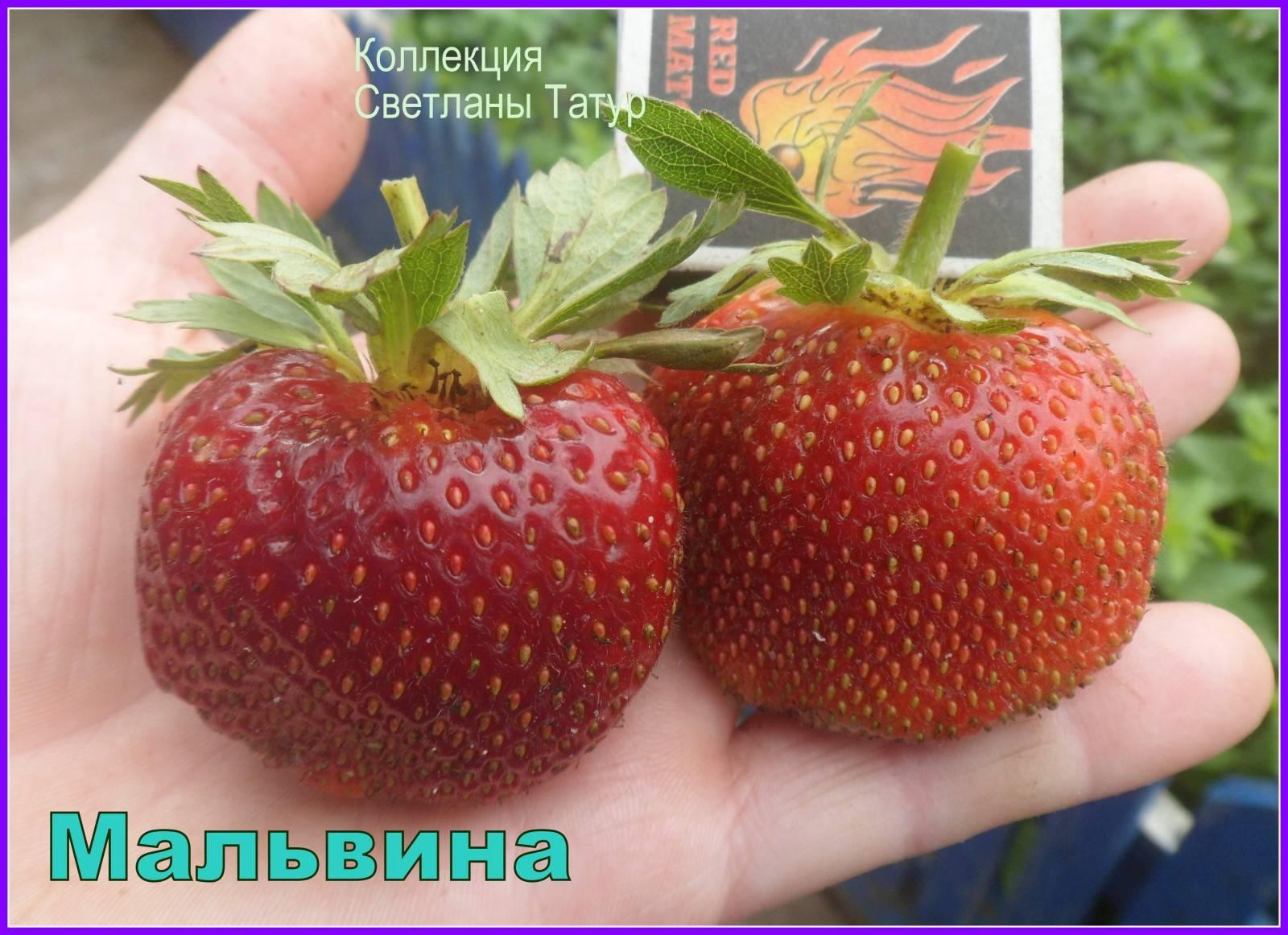 Клубника круглый год – как выращивать по 5-6 урожаев ягод, независимо от поры года