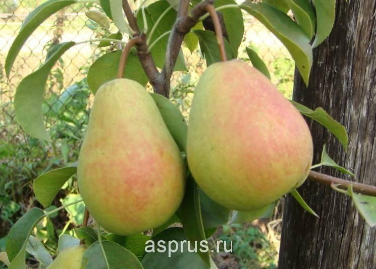 Сорта груш для краснодарского края - сельская жизнь
