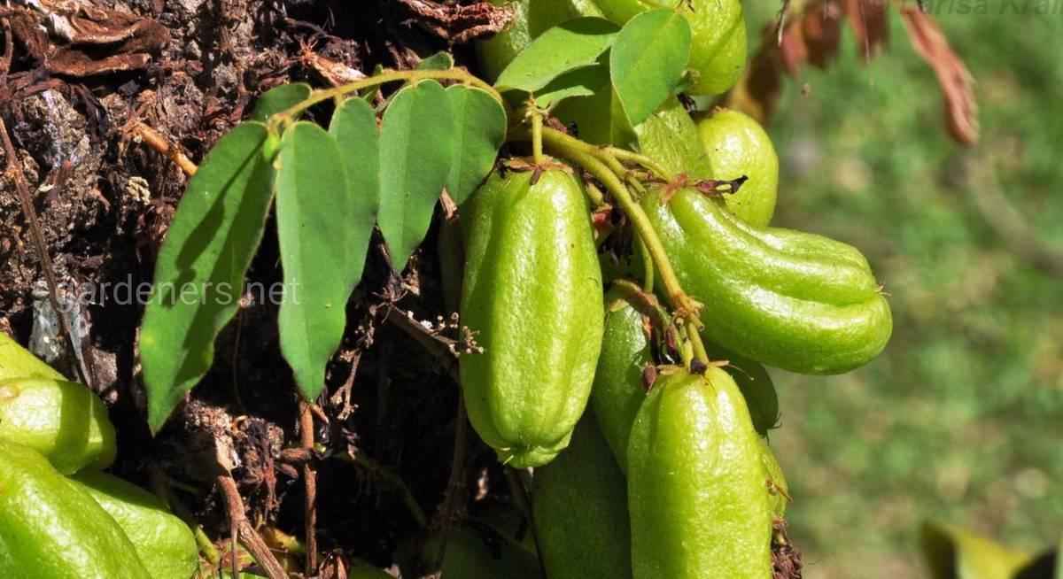 Огуречное дерево — описание, виды, особенности ухода и выращивания