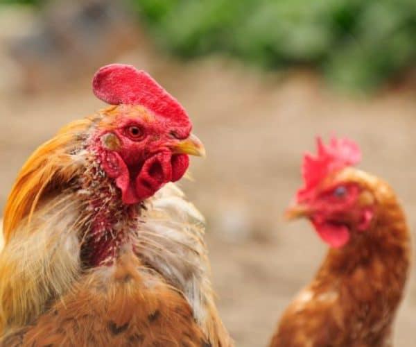 Пероед у кур: как избавиться
