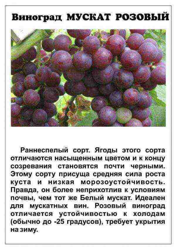ᐉ мускат благородный* - виноград - roza-zanoza.ru