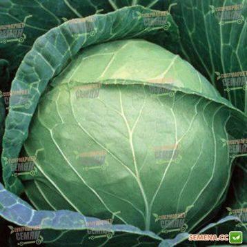 Суточная порция витаминов в одном листе — капуста парел f1: полное описание