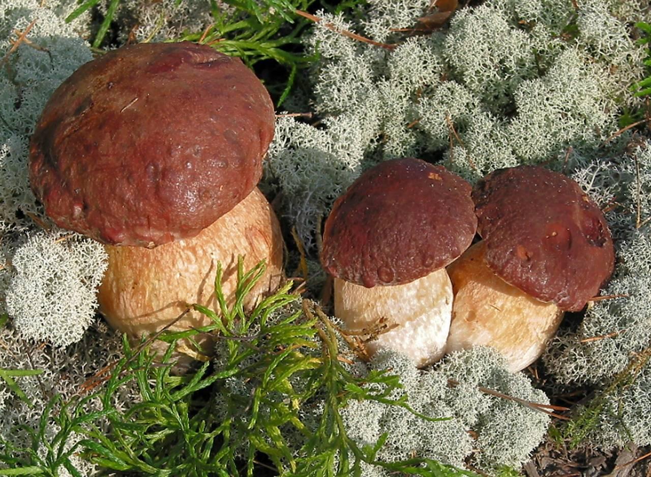 Ложный белый гриб: фото и описание