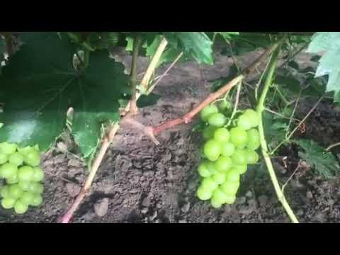 Виноград дарья: описание и характеристики сорта, правила выращивания и ухода с фото