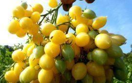 Томат никола: 7 особенностей сорта и правила выращивания