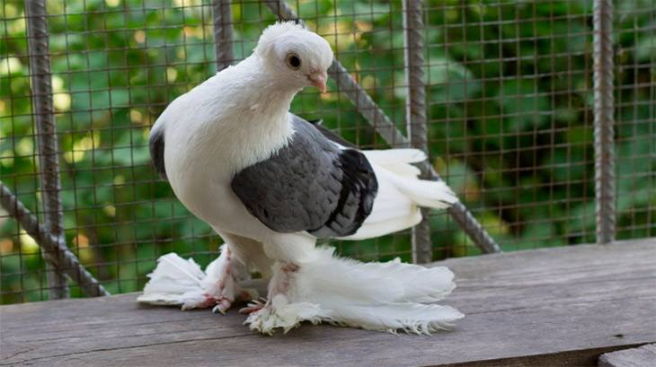 Интересные двухчубые голуби