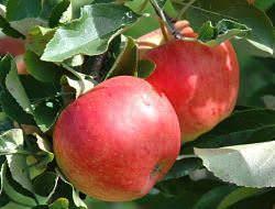 Яблоня свежесть: описание, фото, отзывы
