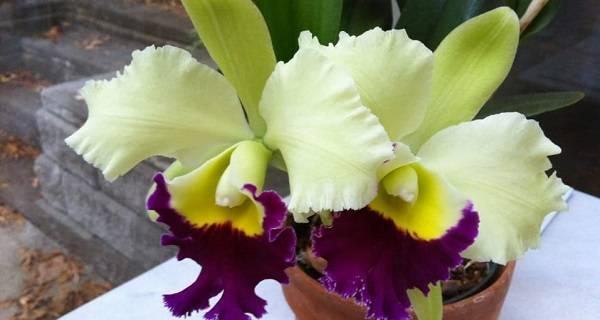 Орхидея каттлея (56 фото): уход за цветком в домашних условиях. способы размножения. реанимация корней. правила пересадки орхидеи