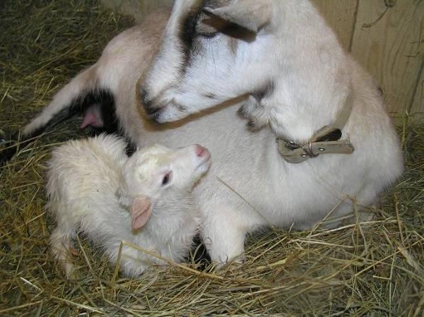 Мастит у козы: причины, лечение в домашних условиях