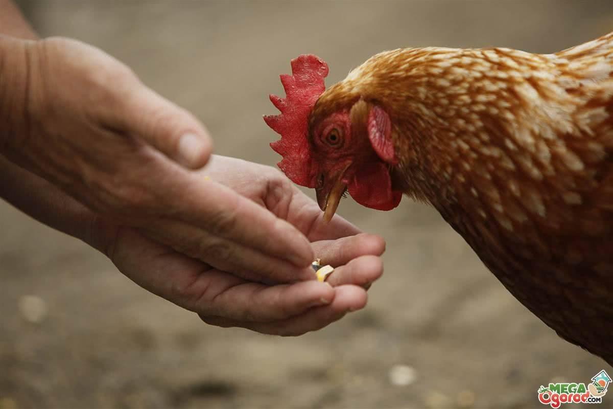 Каким зерном кормить кур несушек