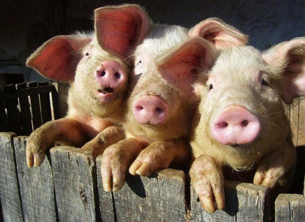 Как правильно кормить свиней для быстрого роста в домашних условиях