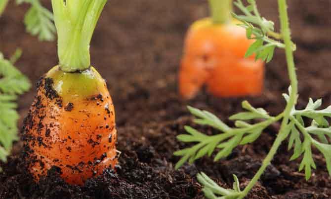 Как правильно проредить морковь в открытом грунте