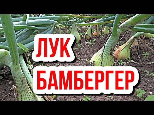 Как посадить и вырастить лук «бамбергер»