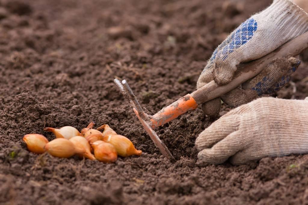 Посадка лука осенью под зиму: когда и как правильно сажать озимый лук