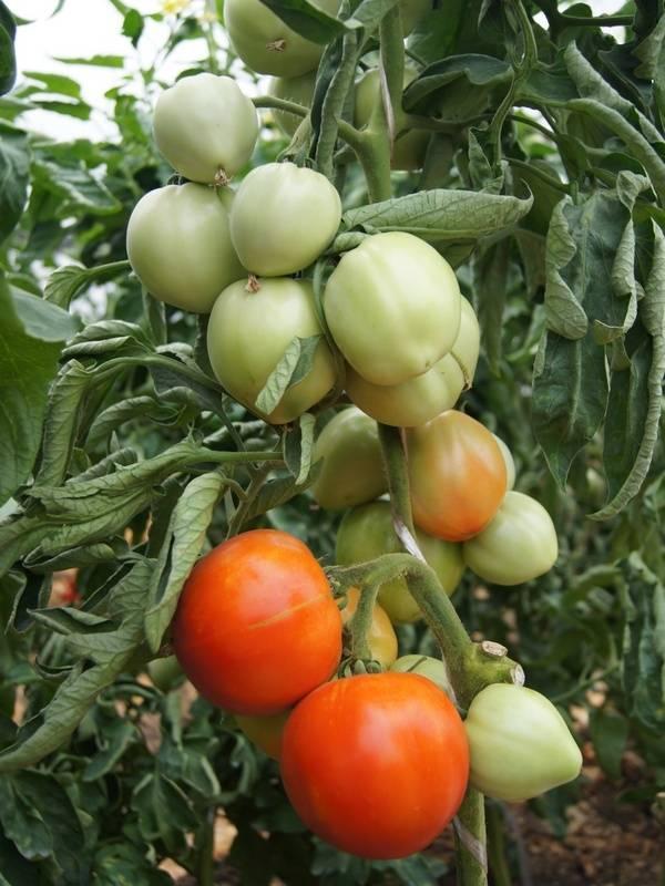 Томат татьяна: топ отзывы, описание, секреты урожайности, фото