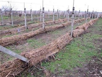 Способы укрытия винограда осенью: как выбрать материал, утеплить агроволокном, прикапывать на зиму