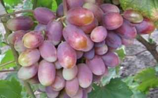 Сеянец продюсера — гибридная форма винограда