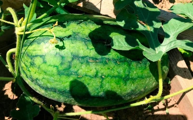 Посадка арбузов в открытый грунт или теплицу: правила ухода и выращивания