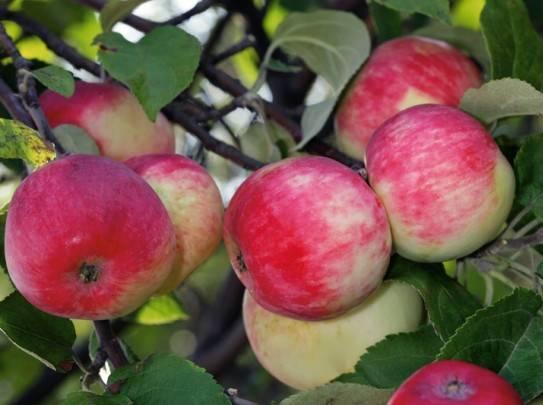 Какие достоинства у осенней яблоньки жигулевское