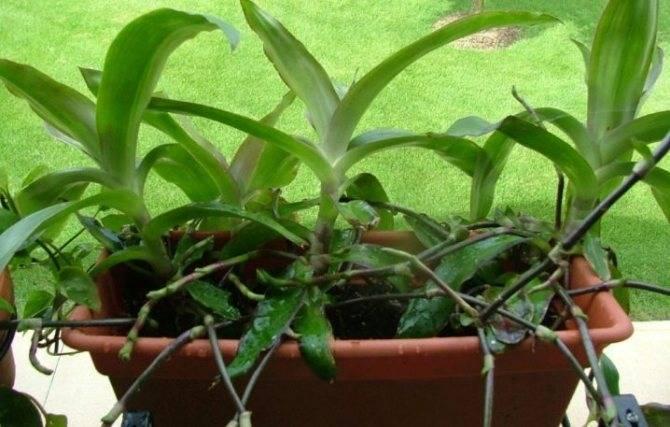 Золотой ус выращивание в домашних условиях и уход за ним, размножение и болезни + фото