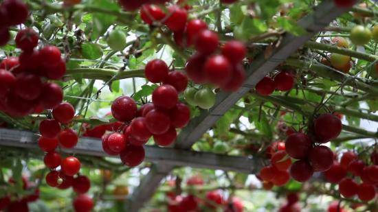 Как вырастить помидорное дерево в домашних условиях и открытом грунте