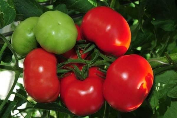 Гибрид кукла f1 – лучший ранний помидор для салатов