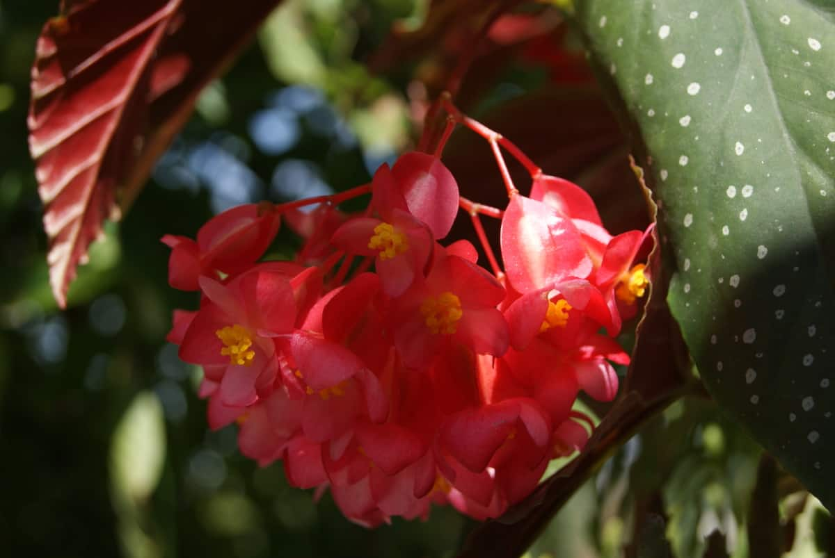 Королевская бегония (42 фото): уход, размножение и цветение в домашних условиях, описание, виды и сорта
