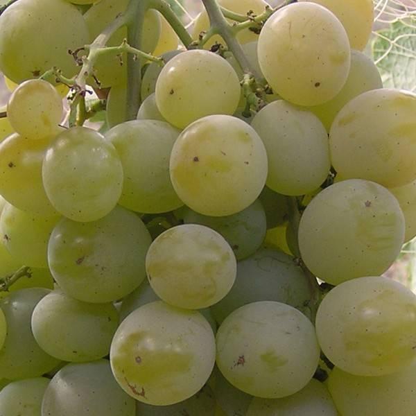 Виноград «кристалл»: описание сорта, фото и отзывы, особенности выращивания