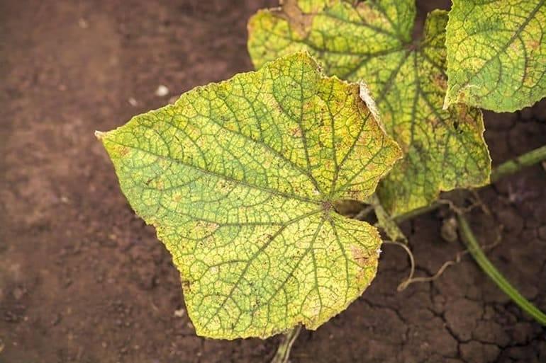 Желтеют листья огурцов в теплице: что делать, чем обработат