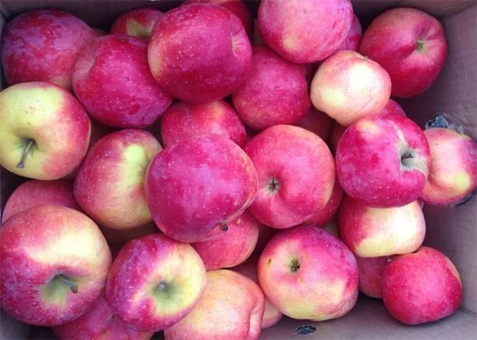 Яблоня орлинка: фото и описание сорта, отзывы
