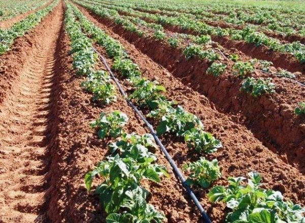 Сорт картофеля киви: характеристика, описание, фото, происхождение и особенности русский фермер