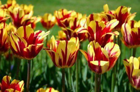 Почему не цветут тюльпаны, одни листья, что делать
