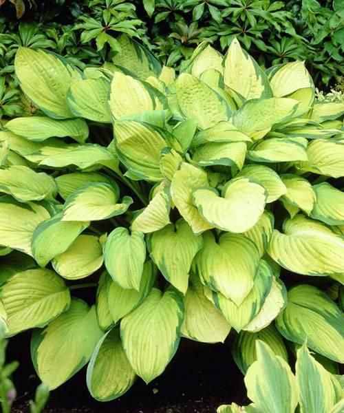 ✅ о хосте голд стандарт (описание сортового растения, агротехника выращивания) - tehnomir32.ru