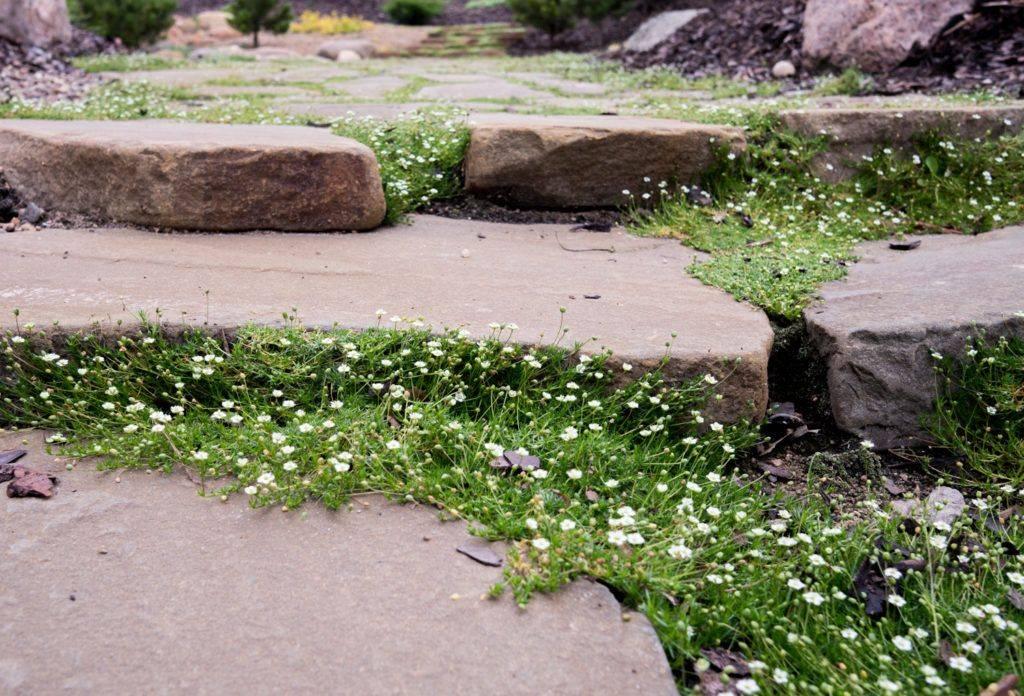 Мшанка шиловидная (ирландский мох): выращивание из семян, посадка и уход в домашних условиях