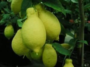 Лимон лунарио: описание сорта, выращивание в домашних условиях