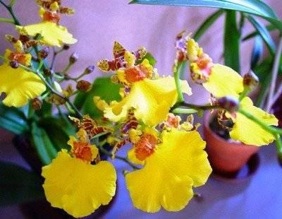 Орхидея пафиопедилум: уход в домашних условиях, виды, пересадка, размножение