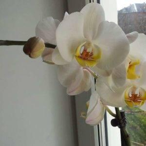 Как выглядит орхидея в горшке: фото, особенности и виды с названиями - sadovnikam.ru