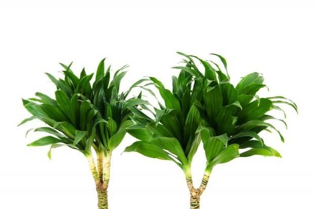 Почему желтеют листья у драцены: причины, лечение, особенности ухода - sadovnikam.ru