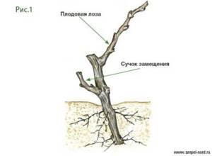 ✔ как правильно посадить виноград осенью: исчерпывающее руководство
