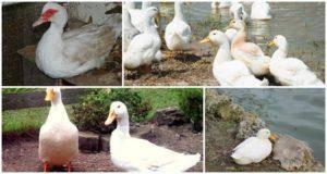 Черные утки (21 фото): как называется утенок с белым клювом и головой? описание белогрудых пород, домашние утки с хохолком
