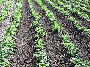 Через сколько дней всходит картофель после посадки