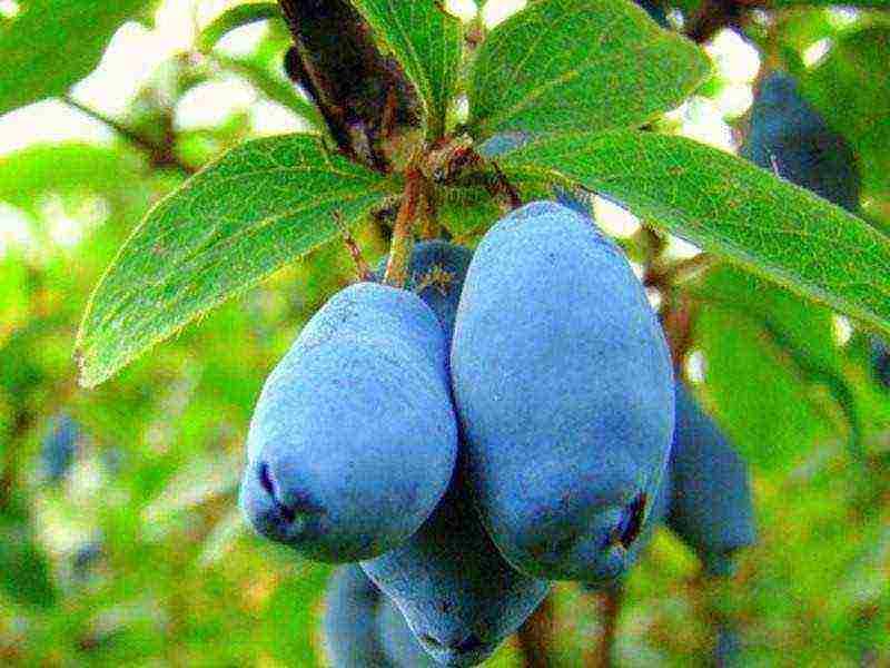 ✅ особенности выращивания жимолости на урале: посадка и уход, сорта жимолости для урала с фото - tehnoyug.com