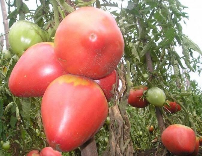 Топ-35 лучших сортов розовых томатов | +отзывы