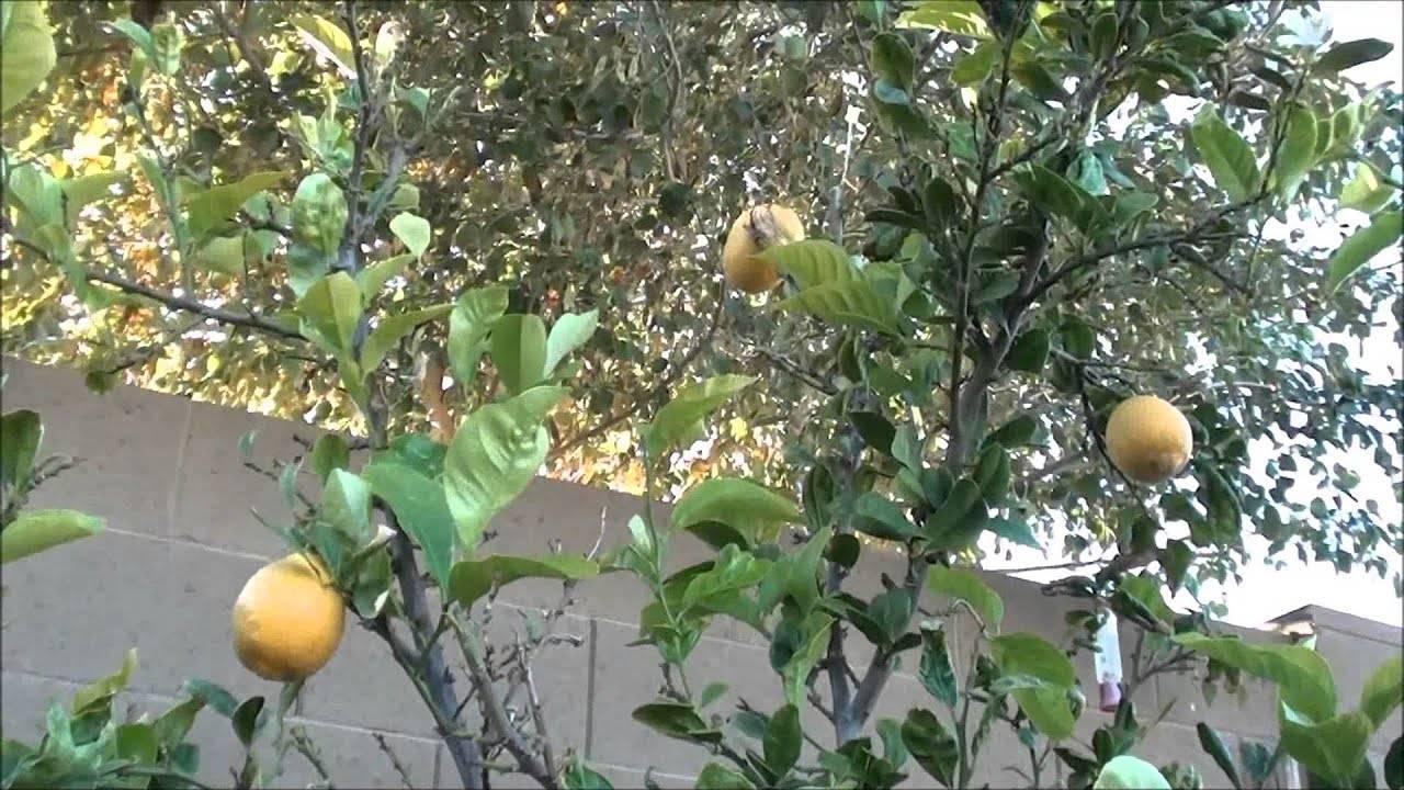 Сорта комнатного лимона как выбрать