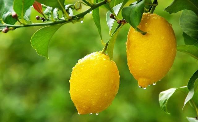 Лимон от атеросклероза — медико-диагностический центр starlab