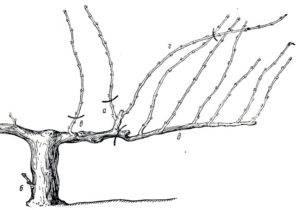 Особенности обрезки винограда изабелла осенью