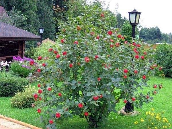 Растение калина красная (обыкновенная): фото, названия и описание сортов кустарника, посадка и уход