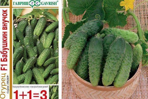 Огурец бабушкин внучок f1: отзывы и фотографии, описание, устойчивость и урожайность