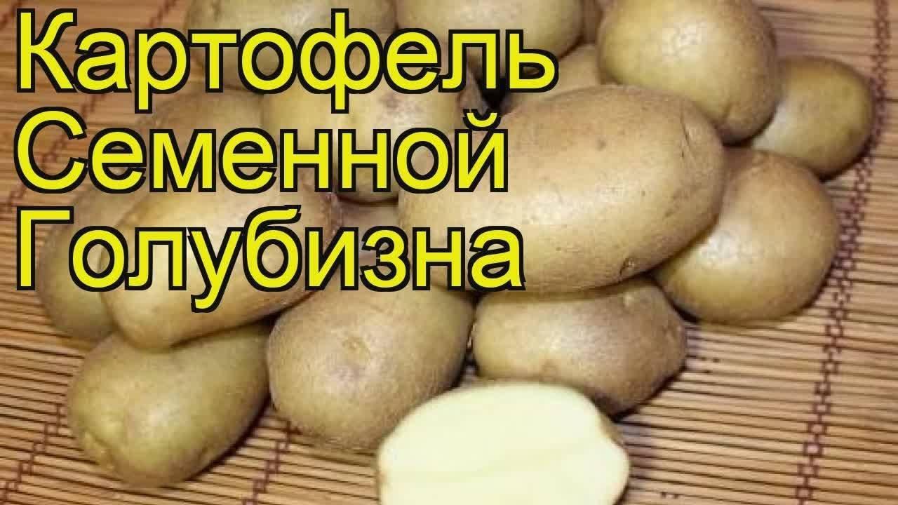 Все о сорте картофеля голубизна: описание и фото, характеристика, особенности выращивания и другие нюансы